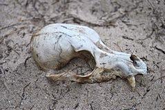 djur skalle Royaltyfri Fotografi