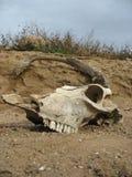 djur skalle Arkivfoton
