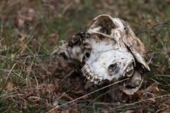 Djur skalle på gräset Royaltyfri Fotografi