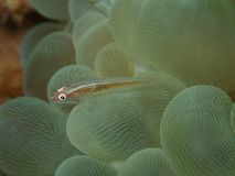 Djur djur som är vatten-, bakgrund som är härlig, skönhet, bubblakorall, closeup, färg som är färgrik, korall, korallrever, varel arkivbilder