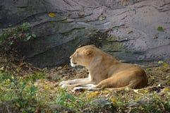 djur som det är den täta lionen, gjorde parkbildsafari till mycket Arkivbild