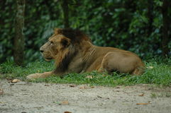 djur som det är den täta lionen, gjorde parkbildsafari till mycket Royaltyfri Foto