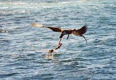djur som slåss galapagos Royaltyfria Bilder