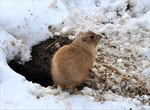 Djur - susande i vinter Royaltyfria Foton