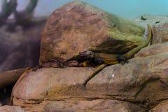 Djur svart Throated bildskärm -, bosatt organism, reptilar royaltyfri foto