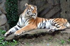 Djur - tiger Fotografering för Bildbyråer