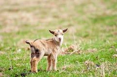 djur unge Fotografering för Bildbyråer