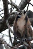 djur utsatt för fara exotisk lemur Arkivbild
