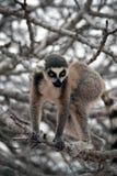 djur utsatt för fara exotisk lemur Royaltyfri Fotografi
