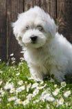 Djur valpstående: Bomullsde Tuléar hund - ren vit gillar cott Arkivfoto