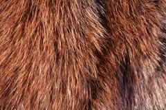 djur wild bakgrundspäls Royaltyfri Foto