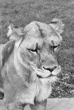 djur wild fångenskapfrihetslion Royaltyfria Bilder