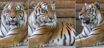 Djura Amur tigrar Arkivfoto