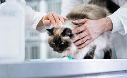 Djura doktorsveterinärer som undersöker katten i ICU av den djura clinien Royaltyfria Bilder