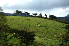 djura får för äng för boskap för gräslambliggande Arkivbild