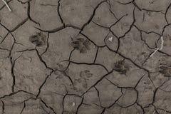 Djura fotspår i torkad gyttja 01 Arkivfoton