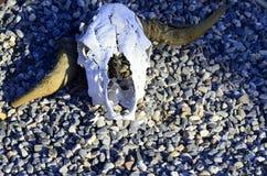 Djura skallar med horn i öken Arkivbilder