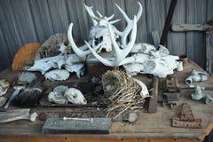 Djura skelett Royaltyfri Fotografi