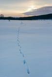 Djura spår i vintersnön Arkivfoto
