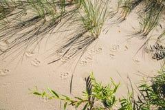 Djura spår på sanden Arkivbilder