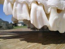 djura tänder Royaltyfria Foton