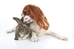 Djura vänner True älsklings- vänner Hundkaninkaninen beskär djur tillsammans på isolerad vit studiobakgrund Husdjur älskar sig Arkivbild