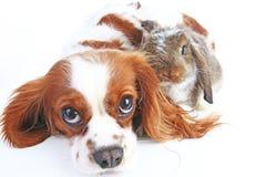Djura vänner True älsklings- vänner Hundkaninkaninen beskär djur tillsammans på isolerad vit studiobakgrund Husdjur älskar sig Royaltyfria Bilder