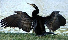 djurcormorant Royaltyfria Bilder