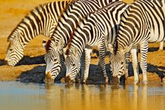Djurdricksvatten Plattar till sebran, Equusquagga, i den gräs- naturlivsmiljön, aftonljus, den Hwange nationalparken Zimbabwe W arkivfoton
