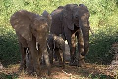 djurelefant arkivbild