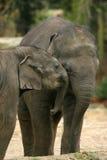 djurelefanter som kramar två Royaltyfria Foton