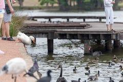 Djuret hoppar in i vatten Sydney Park Änder i bakgrund Royaltyfri Bild