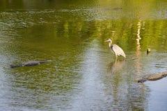 djurflorida swamp arkivfoton