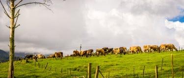 djurlantgårdliggande sommar för många sheeeps Arkivbild