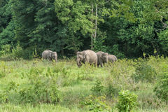 Djurliv av den asiatiska elefanten för familj som går och ser gräs för mat Royaltyfria Bilder