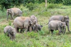 Djurliv av den asiatiska elefanten för familj som går och ser gräs för mat i den skogKui Buri nationalparken thailand Royaltyfria Foton