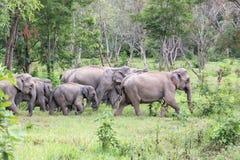 Djurliv av den asiatiska elefanten för familj som går och ser gräs för mat i den skogKui Buri nationalparken thailand Arkivbilder