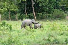 Djurliv av den asiatiska elefanten för familj som går och ser gräs för mat i den skogKui Buri nationalparken thailand Arkivfoto
