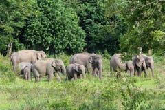 Djurliv av den asiatiska elefanten för familj som går och ser gräs för mat i den skogKui Buri nationalparken thailand Royaltyfri Foto