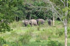 Djurliv av den asiatiska elefanten för familj som går och ser gräs för mat i den skogKui Buri nationalparken thailand Arkivbild