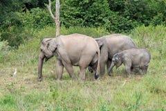 Djurliv av den asiatiska elefanten för familj som går och ser gräs för mat i den skogKui Buri nationalparken thailand Royaltyfri Fotografi