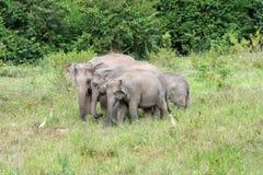 Djurliv av den asiatiska elefanten för familj som går och ser gräs för mat i den skogKui Buri nationalparken thailand Fotografering för Bildbyråer