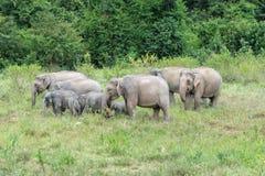 Djurliv av den asiatiska elefanten för familj som går och ser gräs för mat i den skogKui Buri nationalparken thailand Royaltyfria Bilder