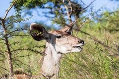 Djurliv Buck Animal Wilderness Arkivbild