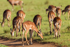 Djurliv Buck Herd Animal Royaltyfria Bilder