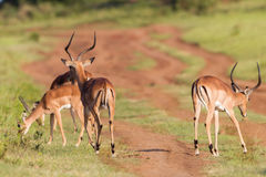 Djurliv Buck Herd Animal Royaltyfri Fotografi