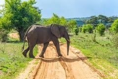 Djurliv - elefant royaltyfri bild