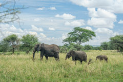 Djurliv - elefanter arkivfoto