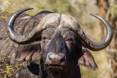 Djurliv för buffelnärbildhuvud Arkivbilder