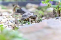 Djurliv för closeup för sköldpaddaTestudoMarginata europeiskt landturtle royaltyfri fotografi